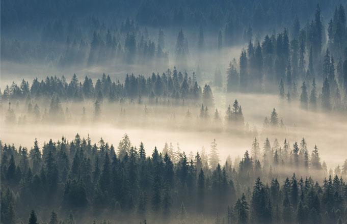 Forêt de bois de Cèdre